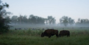 Bison at Land Between the Lakes with AHRN.com